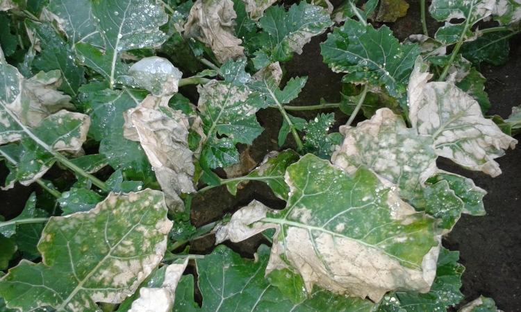 Jeżeli zapowiadają przymrozki w nocy nie wykonujcie zabiegów! Grozi to uszkodzeniem  części nadziemnej roślin.
