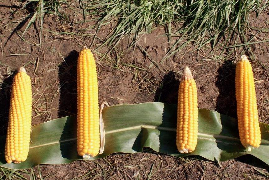 U mieszańców typu flex wielkość kolby jest zmienna i zależy od obsady roślin na polu.