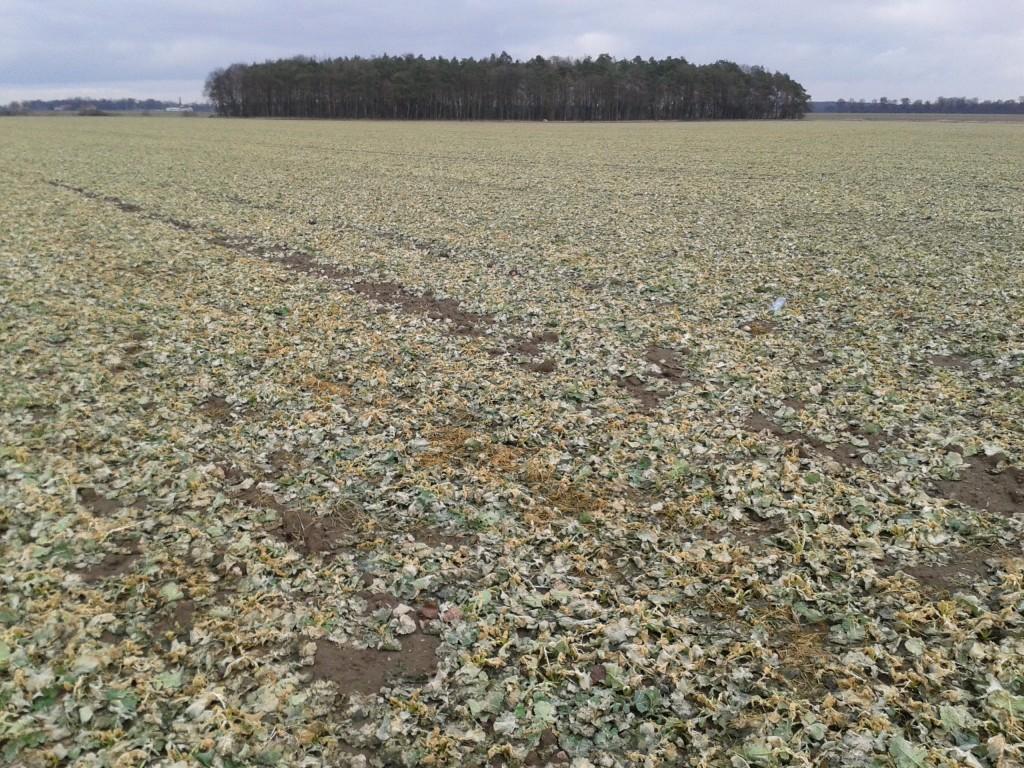 Plantacja rzepaku ozimego na polach demo w Suchodębiu