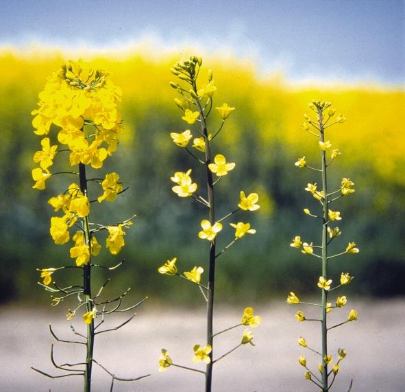 Siarka jest bardzo ważnym makroskładnikiem, który należy wprowadzić na starcie wiosennej wegetacji.