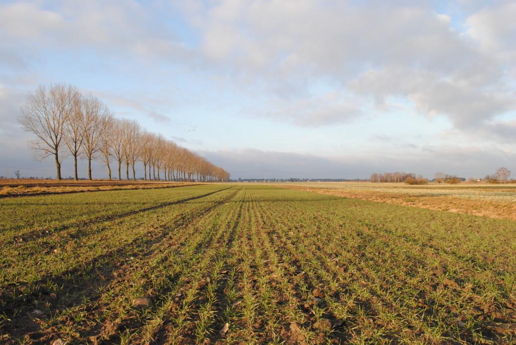 Stan plantacji pszenicy ozimej w Budziejewie