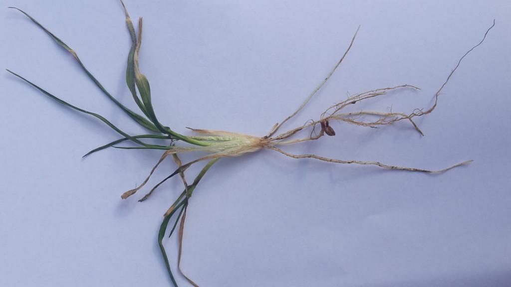 pszenica ozima, odmiana Linus (fot. M.Stańczyk)