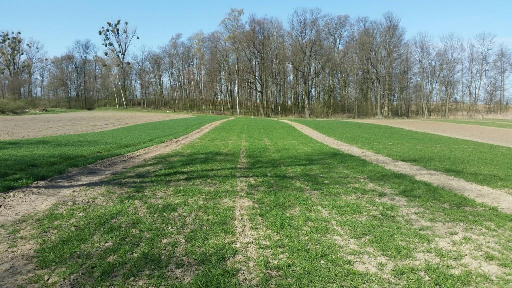 Widoczne są duże różnice w przezimowaniu między odmianami pszenicy ozimej. Przekłada to się na ich wiosenny wigor (fot. K.Taterka)