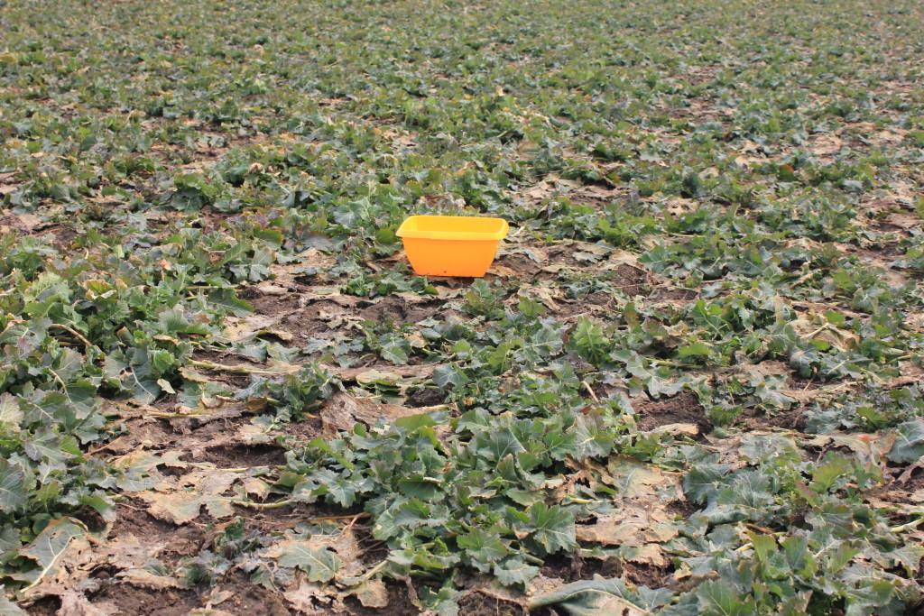 Monitoring plantacji - wystawienie żółtych naczyń (fot. Paweł Talbierz)