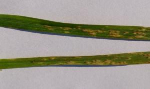 Mączniak prawdziwy to choroba, która może rozwijać się na oziminach już jesienią, a nawet wczesną wiosną