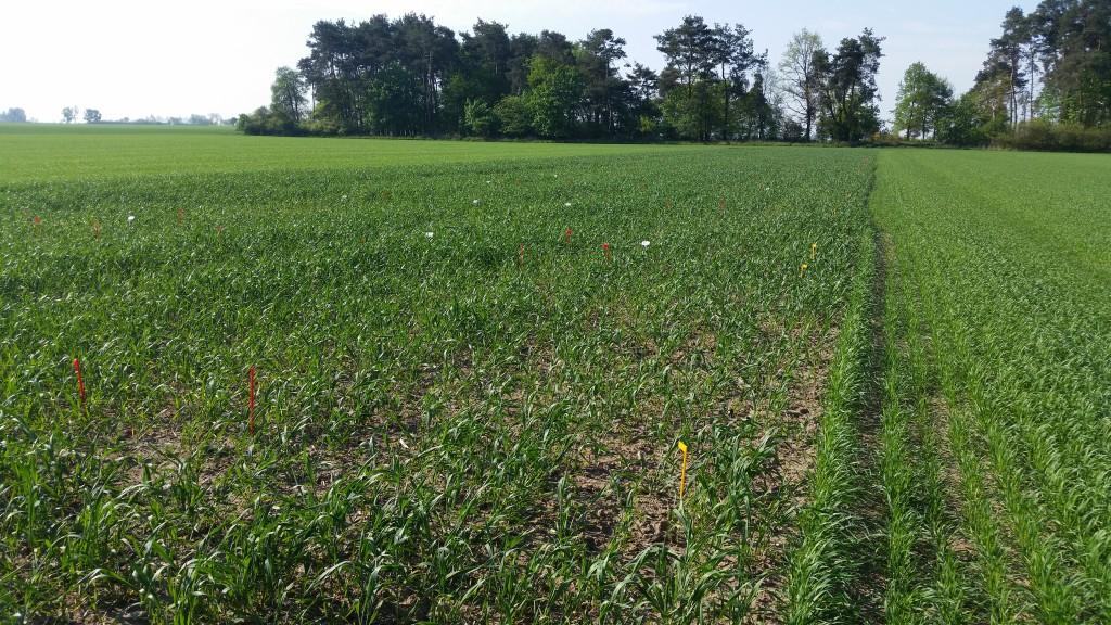 Część odmian pszenicy ozimej nie przezimowało. W ich miejsce posialiśmy pszenicę jarą i na niej również założyliśmy małe doświadczenia pokazowe (fot. S.Długsozewski)
