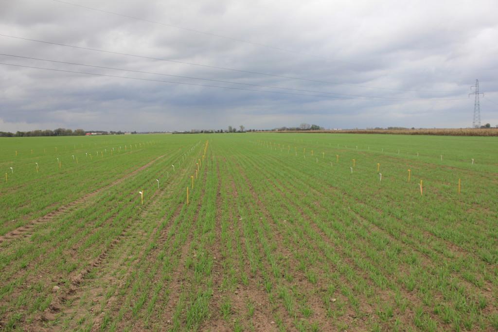 Pole pod jesienne doświadczenie herbicydowe (fot. P.Talbierz)