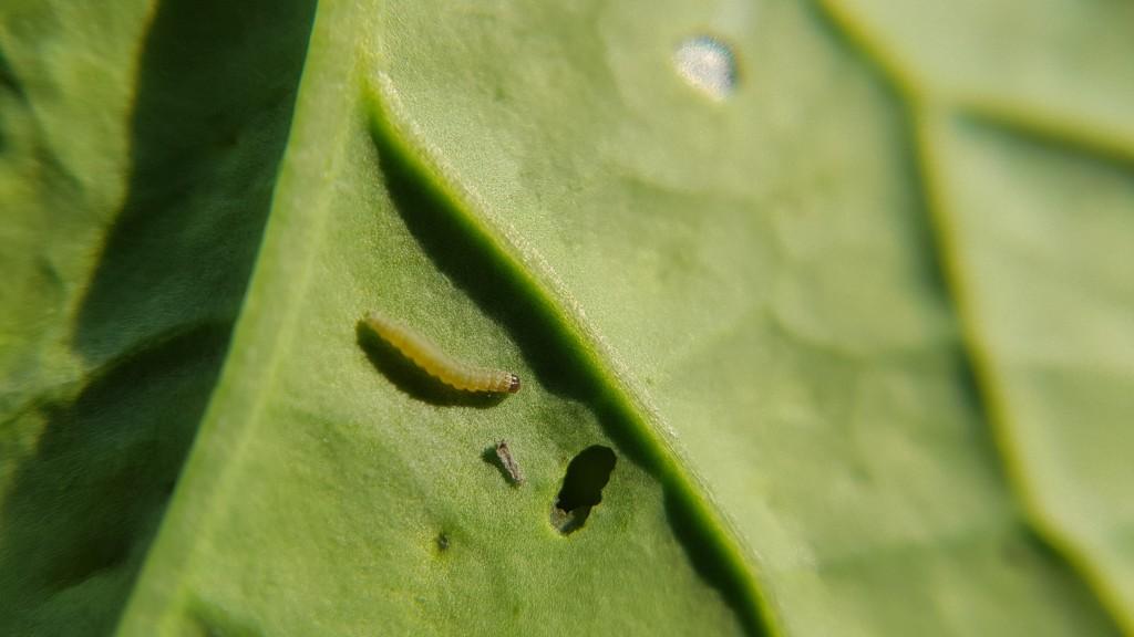 Larwa tantnisia krzyżowiaczka (fot. Joanna Korcz)