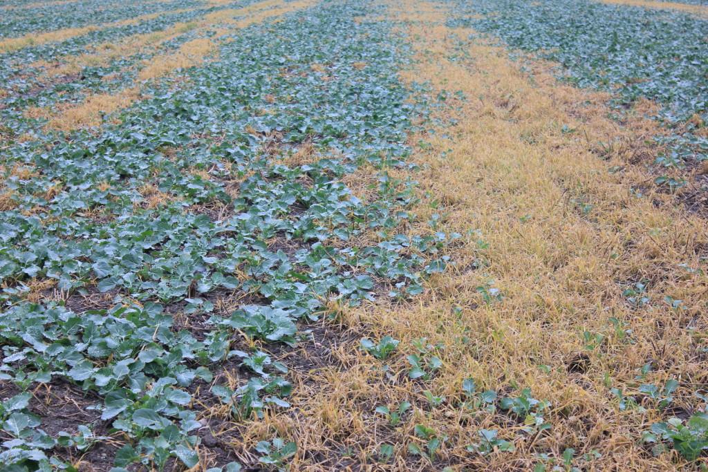 Samosiewy zbóż mogą być istotnym problemem w rzepaku, jeżeli nie będą odpowiednio wcześnie zwalczone