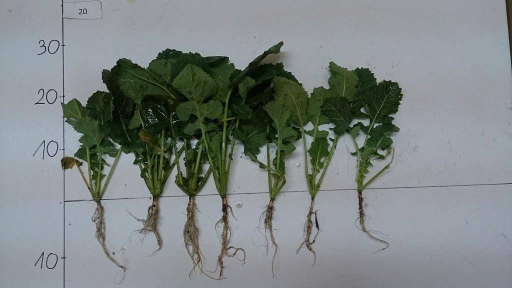 Na zdjęciu widoczne rośliny rzepaku pobrane z poletka, na którym zastosowano biostymulator Kelpak (1,5 l/ha) łącznie z Nano Activ Forte (4,0 kg/ha)