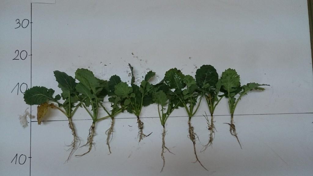 Dla porównania rośliny z poletka kontrolnego (nie poddanego zabiegowi)