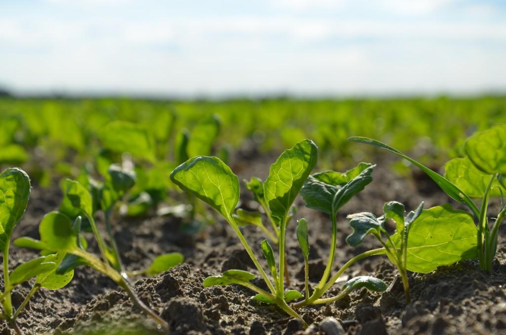 Uszkodzenia po jednym z herbicydów (fot. Pamela Poletajew)