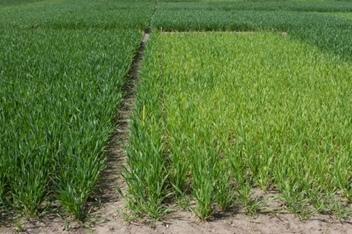 Wpływ nawożenia siarka na kondycję zbóż