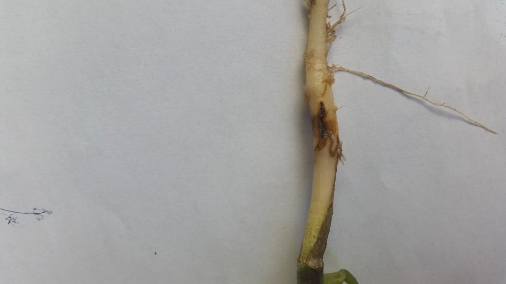Żerowanie larw śmietki kapuścianej na młodych rzepakach (fot. C.Olejnik)