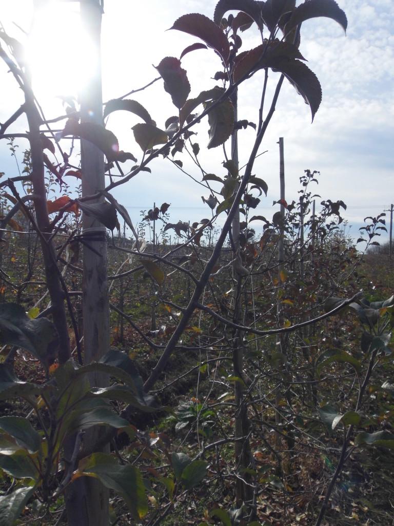 Dwuletnia, silnie rosnąca gałąź zakończona pąkiem liściowym