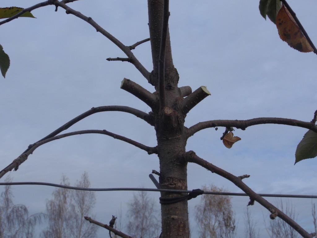 Gałęzie na przewodniku po cięciu