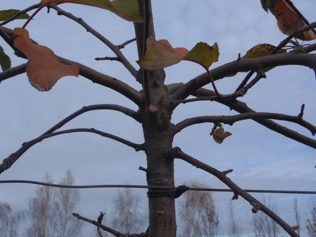 Gałęzie na przewodniku przed cięciem