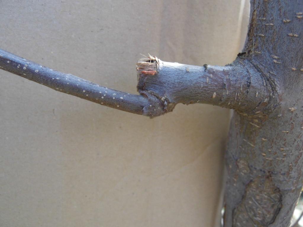Pozostawienie długich czopów gwarantuje wybijanie nowych pędów