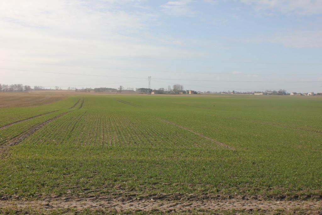 Pszenice ozime rzadko zostały posiane w terminach agrotechnicznych, stąd wymagają dokrzewienia (fot. P.Talbierz)
