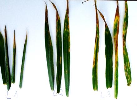 Stan zdrowotnościowy liści na obiekcie z samym fungicydem: Bukat 500 SC 0,3 l/ha (bez adiuwanta) (fot. M.Budziński)
