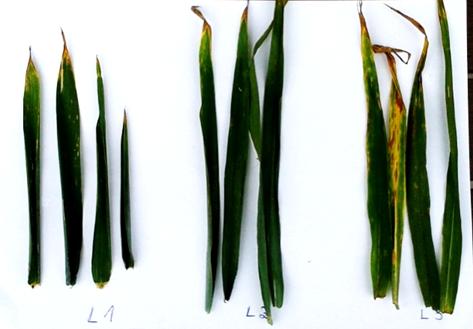 Ambrossio 500 SC 0,3 l/ha + Asystent+ 0,1 l/ha – wyraźnie widoczne mniejsze porażenie septoriozą liścia flagowego i podflagowego