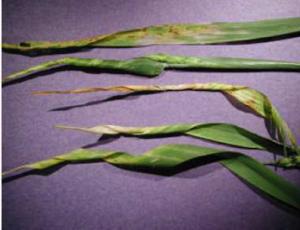 """Na zdjęciu widzimy charakterystyczne zawijanie się liści, zwane również """"świńskim ogonkiem"""", są to objawy niedoboru miedzi w pszenicy."""